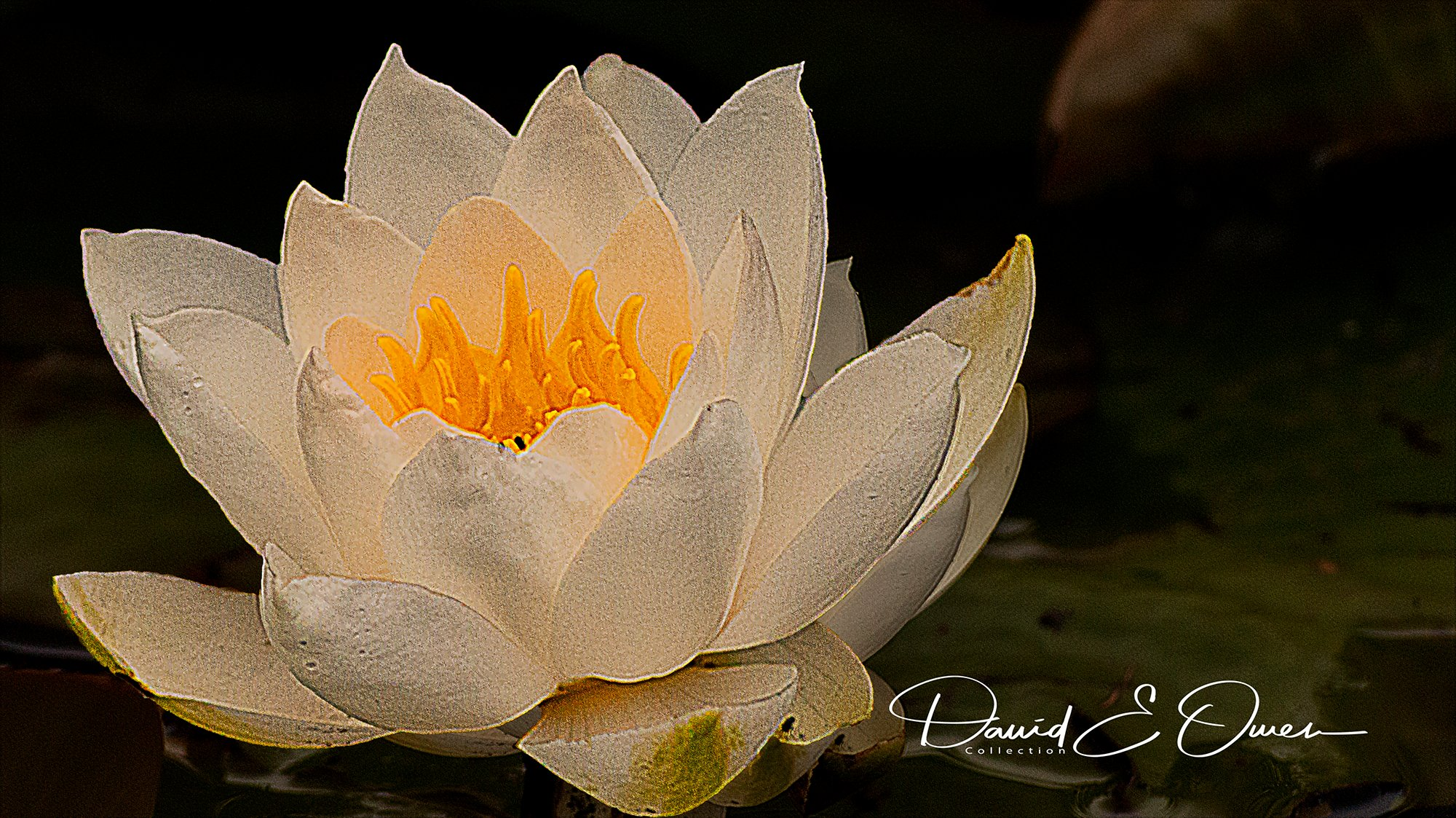 Water Lily|: Ref B026